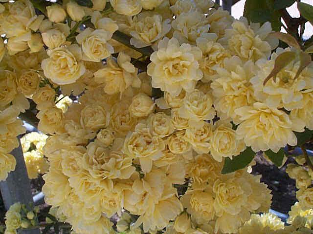 rosier hybride lucia jaune